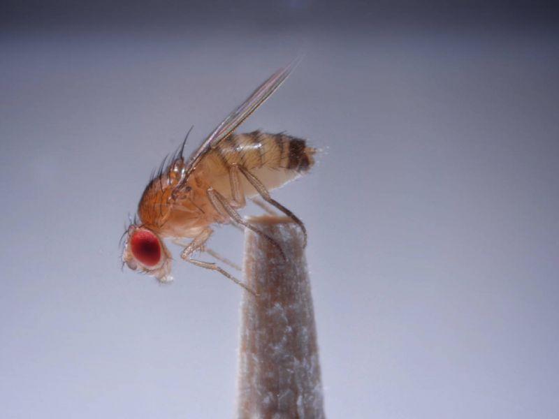 due-funghi-appena-scoperti-trasformano-mosche-zombie-divorano-dall-interno-v3-488689-800x600-1