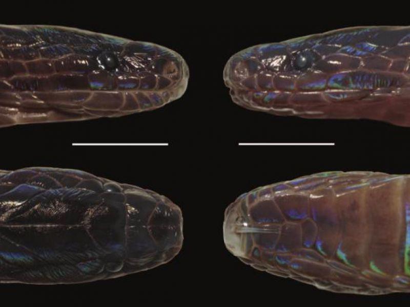 scoperta-nuova-specie-serpente-squame-scintillanti-v3-487707-800x600-1