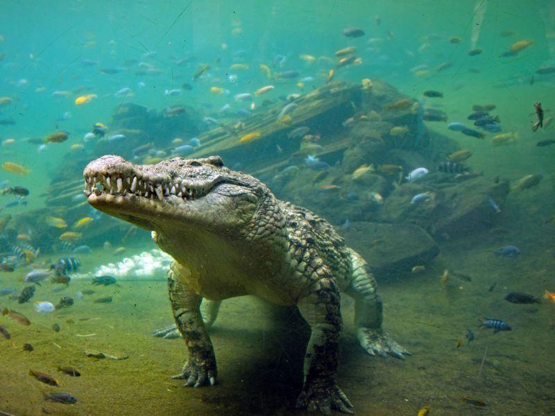 perch-coccodrilli-cambiati-cos-dall-epoca-dinosauri-v3-492525-800x600-1
