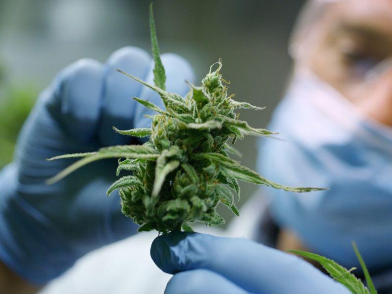 uno-studio-termine-racconta-effetti-sociali-consumo-cannabis-v3-496233-800x600-1