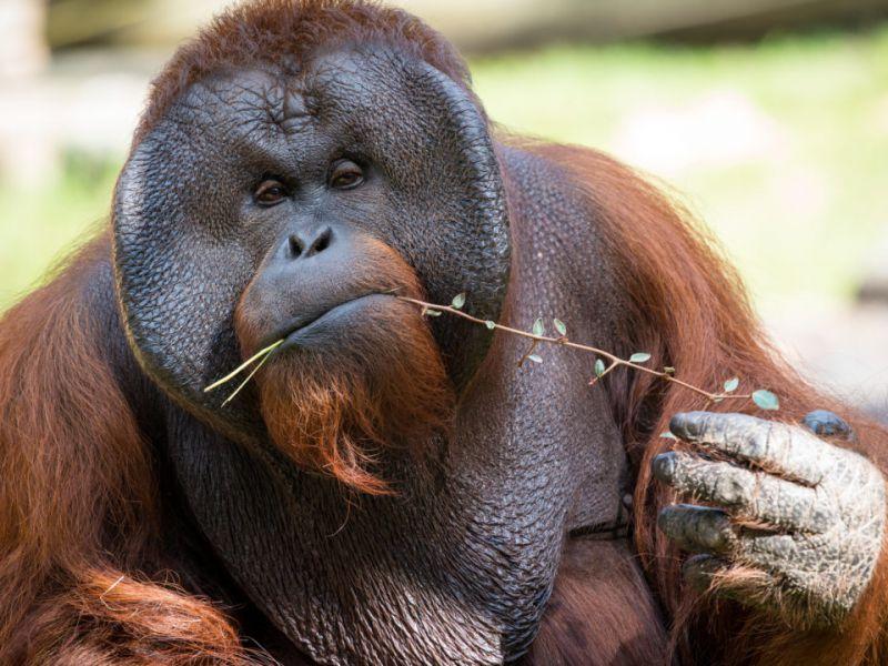 gli-orangotanghi-cattivit-inventato-comunicare-unico-v3-497825-800x600-1