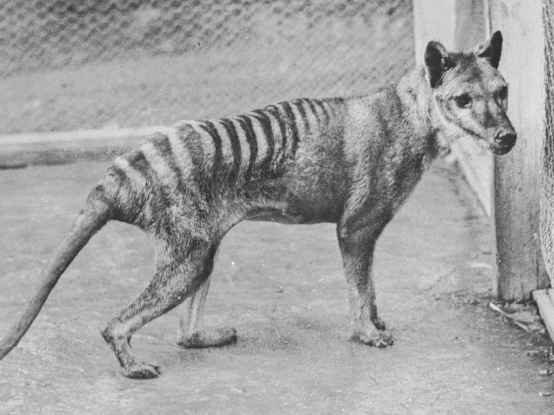 la-tigre-tasmania-non-essersi-estinta-1936-v3-498452-800x600-1